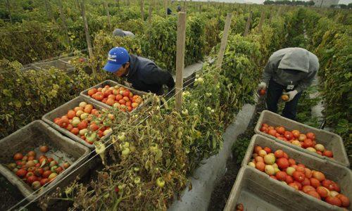 Stime sul caporalato , 500 mila nuovi schiavi in Italia