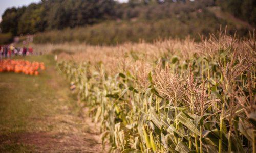 Agricoltura: il paradosso dei Fondi europei, alla mafia invece che agli agricoltori