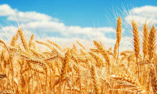 Ceta: sale l'export grano italiano, ancora polemiche sul glifosato