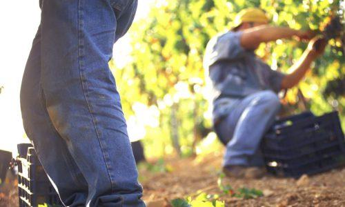 Coldiretti: senza Voucher a rischio 50 mila posti di lavoro stagionali in campagna