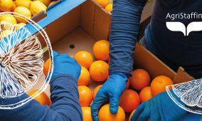 Recruiting day Agristaffing: raccolta e lavorazione di agrumi